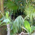 Fauna conceals the Noho in the Jaguar exhibit