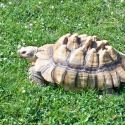The tortoises live outside among the 86 acres blanketed by Technomad audio